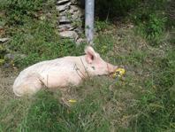 """Appello a cacciatori e malintenzionati: """"Lasciate stare Rosita, ormai è la mascotte di Avegno"""". La curiosa vicenda della maialina """"adottata"""" da un quartiere"""