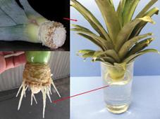Facile dire ananas: isapevate che si può piantare in casa, che è ottimo come contorno e come digestivo,  che è una potente medicina naturale e che ci sono i maschi e le femmine?