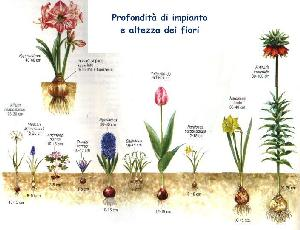 Autunno: tempo di messa a dimora di tulipani, fresie, narcisi, iris e bulbi a fioritura primaverile