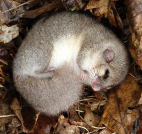 Anche voi dormite come un ghiro? Conosciamo questo tenero folletto dei boschi