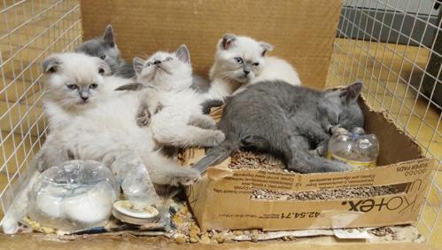A Rapallo  fermato furgone pieno di gattini di razza destinati al contrabbando