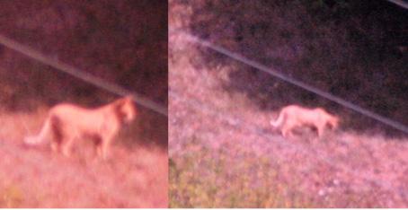 Avvistato un grosso felino in Val d'Aveto: potrebbe essere un puma - Indagini in corso