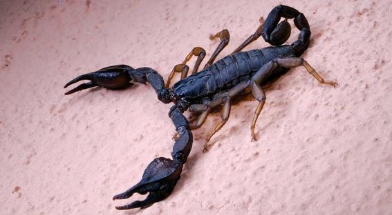 IL NATURALISTA ROMANTICO - Nello scorpione niente è come sembra