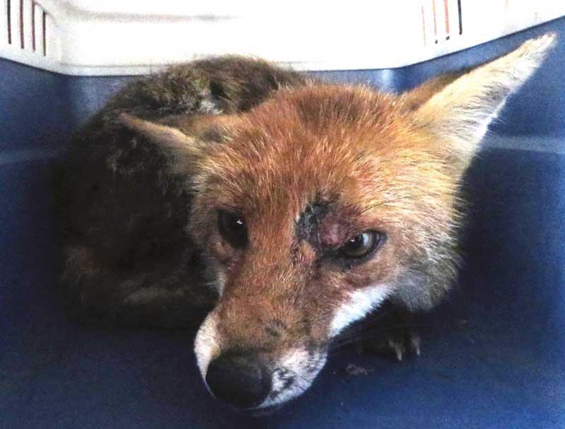 Ho trovato un animale selvatico ferito: che fare? Segnatevi il numero ENPA: 010.72.12.178