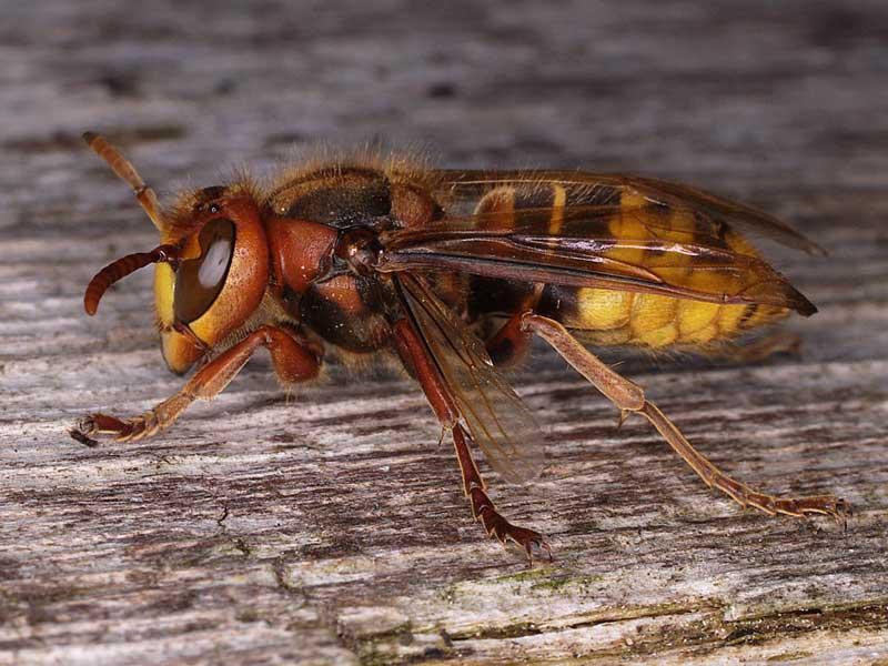 #NaturAmica - I calabroni preferiscono i foresti!