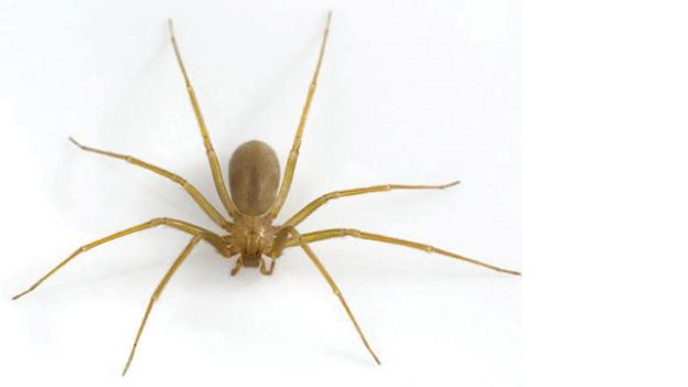 #NaturAmica - Si chiama ragno violino ed è...degno di nota!