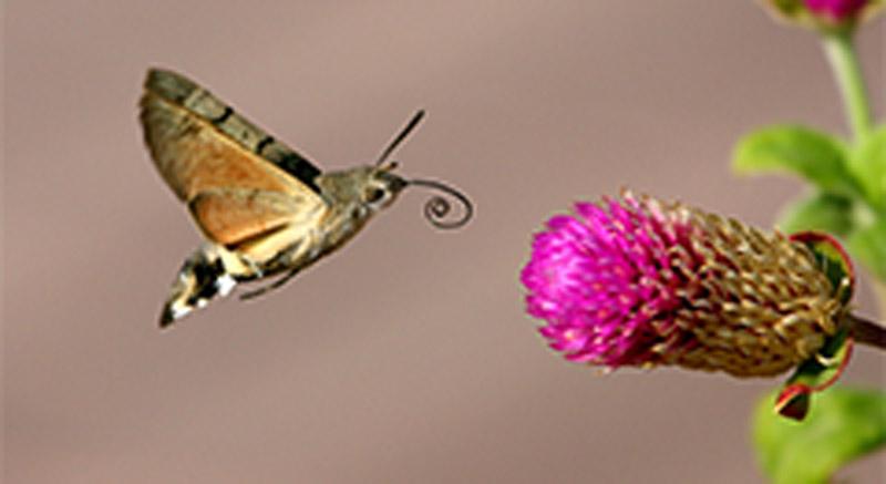 #NaturaAmica - Sfinge del galio, la falena che sembra un colibrì