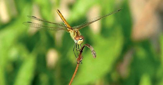 #NaturAmica - La libellula: un vero elicottero che vola anche all'indietro